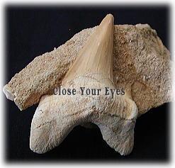 サメの歯化石(サハラ砂漠北部)